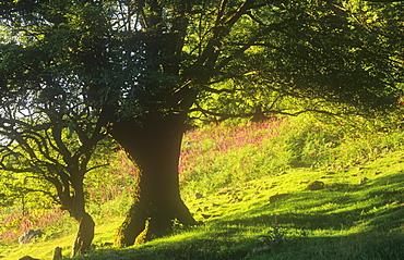 Foxgloves growing in Grasmere, Cumbria, England, United Kingdom, Europe