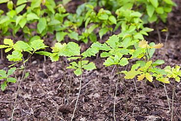 Oak saplings being grown in Sprint Mill Garden near Kendal, Cumbria, England, United Kingdom, Europe