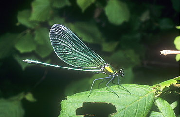 A male banded agrion
