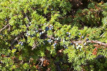 Juniper berries, used for making gin