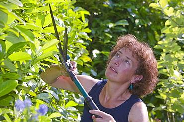 A women trimming a garden hedge, Cumbria, England, United Kingdom, Europe