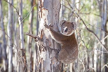 A koala bear in the Barmah Forest near Echuca, Victoria, Australia, Pacific