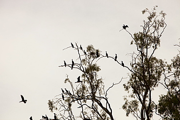 Little black cormorants congregating in red gum trees growing along the banks of the Murray River, Victoria, Australia, Pacific