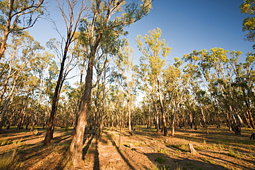 Red gum trees in the Barmah forest, the largest stand of red gums in the world, along the banks of the Murray River, Victoria, Australia, Pacific