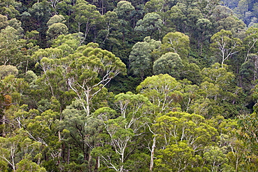 Eucalyptus forest on the slopes of the Snowy Mountains, New South Wales, Australia, Pacific