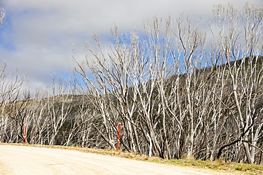 Forest killed by bush fires in the Snowy Mountains, New South Wales, Australia, Pacific