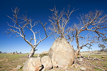 Eucalyptus trees killed by the drought near Lake Eucumbene in New South Wales, Australia, Pacific