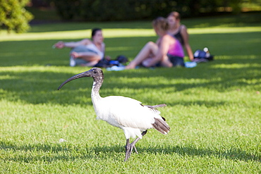 Australian white ibis (Threskiornis molucca) in Sydney Botanical garden, Sydney, New South Wales, Australia, Pacific