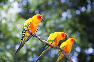 Sun Conures (Aratinga solstitialis) at Bird World in Kuranda, Queensland, Australia, Pacific