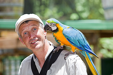 Blue and yellow macaw (Ara ararauna) at Bird World in Kuranda, perched on a tourist, Queensland, Australia, Pacific