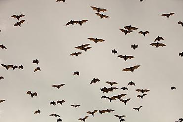 Fruit bats (flying foxes) over Cairns in Queensland, Australia, Pacific