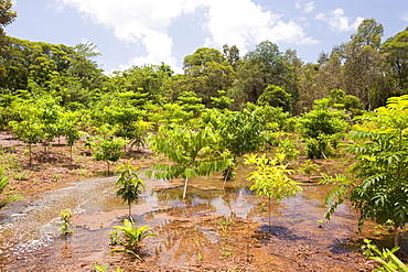 Trees planted by the Australian Rainforest Foundation in the Daintree rainforest, Queensland, Australia, Pacific