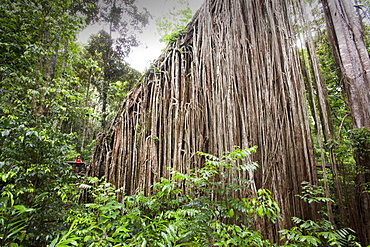 The Curtain Fig Tree, a massive Green Fig Tree (Ficus virens) in the Daintree Rainforest on the Atherton Tablelands, Queensland, Australia, Pacific