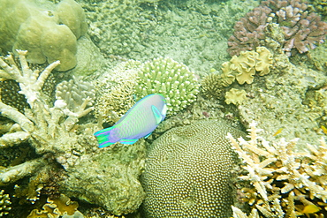Coral on the Great Barrier Reef, off Cairns, Queensland, Australia, Pacific