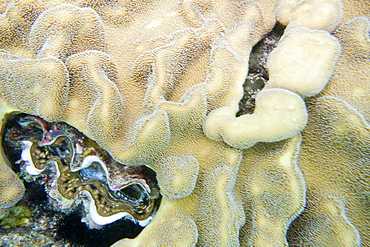Giant clam amongst the soft coral on the Great Barrier Reef, off Cairns, Queensland, Australia, Pacific