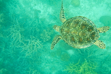 A Green turtle (Chelonia mydas) swimming over the Great Barrier Reef off Cairns, Queensland, Australia, Pacific