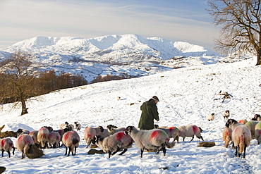 A farmer feeding his flock of sheep with the Coniston Fells in winter snow in the Lake District, Cumbria, England, United Kingdom, Europe