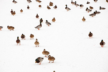 Mallard ducks on a snow covered frozen lake near Penrith, Cumbria, England, United Kingdom, Europe