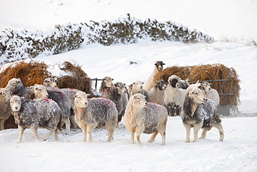 Sheep in winter conditions on the side of Wansfell, above Ambleside, Lake District, Cumbria, England, United Kingdom, Europe
