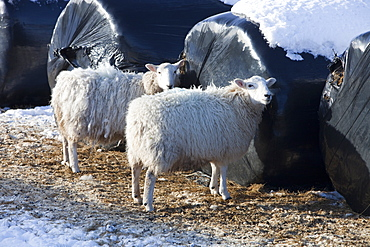 Sheep desperate for food in the big January 2010 freeze, gnaw their way into sileage bales to find food in the Yorkshire Dales, near Settle, Yorkshire, England, United Kingdom, Europe