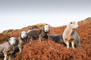 Herdwick sheep in Langdale, Lake District, Cumbria, England, United Kingdom, Europe