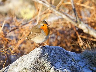 A Robin in winter frost, United Kingdom, Europe