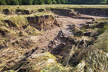 Flood damage to a field of barley at Shincliffe, near Durham, County Durham, England, United Kingdom, Europe