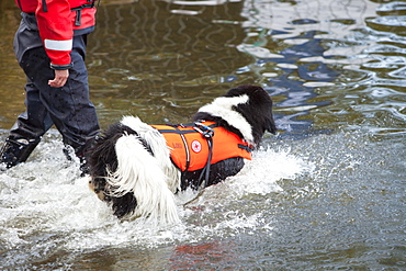 A Red Crosss water safety dog at the Great North Swim on Windermere, Lake District, Cumbria, United Kingdom, Europe
