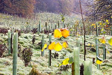 Newly planted woodland in Giggleswick near Settle, Yorkshire, England, United Kingdom, Europe