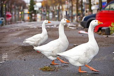 A flock of escaped farmyard geese on Cockermouth Main Street on Saturday morning after the floodwaters had receded, Cumbria, England, United Kingdom, Europe