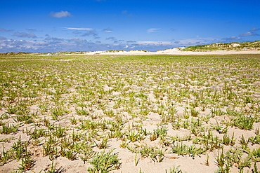Samphire growing on the beach at Wells Next the Sea on the North Norfolk Coast, Norfolk, England, United Kingdom, Europe