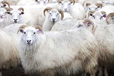 Icelandic sheep in a sheep pen in northern Iceland, Polar Regions