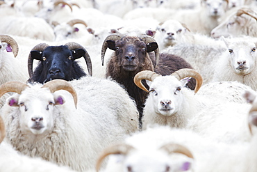 Black and white Icelandic sheep in a sheep pen in northern Iceland, Polar Regions