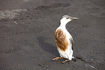 A Guillemot (Uria aalge) covered in oil on a black sand volcanic beach at Vik, on Iceland's south coast, Iceland, Polar Regions