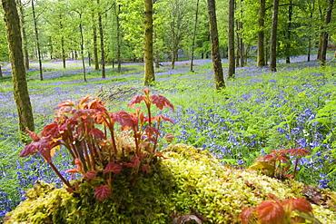 Bluebells in Jiffy Knott woods near Ambleside, Cumbria, England, United Kingdom, Europe