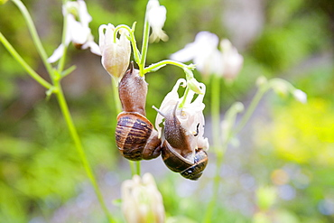 Garden snails feeding on flowers in a Cornish garden, England, United Kingdom, Europe