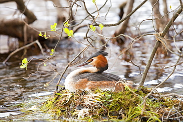 Great crested grebe (Podiceps cristatus) on its nest on Buttermere in the Lake District, Cumbria, England, United Kingdom, Europe