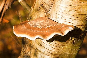 A bracket fungus on a Silver Birch tree in the Trough of Bowland, Lancashire, England, United Kingdom, Europe