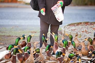 A woman feeding Mallard Ducks on the shores of Lake Windermere at Ambleside, Cumbria, England, United Kingdom, Europe