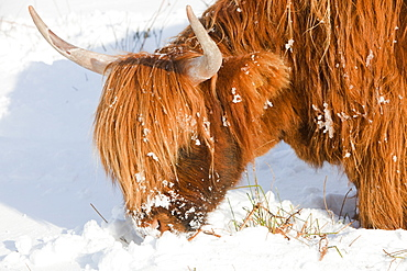Highland cattle grazing off Kirkstone Pass in the Lake District, Cumbria, England, United Kingdom, Europe