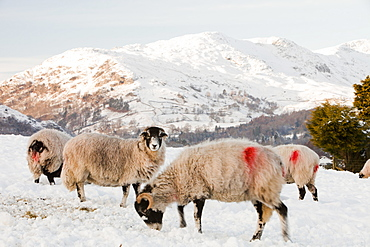 Sheep in Ambleside in snow during the December 2010 cold snap, Lake District, Cumbria, England, United Kingdom, Europe