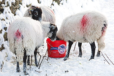 Sheep using a sheep lick in Ambleside in snow during the December 2010 cold snap, Lake District, Cumbria, England, United Kingdom, Europe