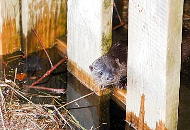 A European otter (Lutra lutra) on Lake Windermere, Lake District, Cumbria, England, United Kingdom, Europe