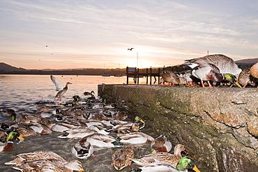 A flock of Mallard ducks feeding on the edge of Lake Windermere in Ambleside, Lake District, Cumbria, England, United Kingdom, Europe