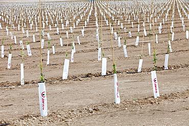 Newly planted olive tree grove near Sorbas, Andalucia, Spain, Europe