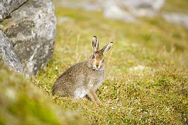 Mountain hare on Ben Stack in Sutherland, Highlands, Scotland, United Kingdom, Europe