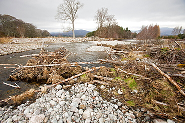 Trees washed downdstream by flood conditions on the River Feshie, Cairngorm, Scotland, United Kingdom, Europe