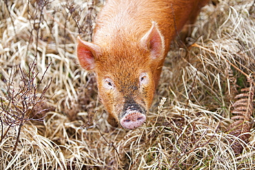 Tamworth Pig that has the run of virtually the whole island, but tends to stay on the northern end of the isle on Calums road near Arnish, Isle of Raasay, Scotland, United Kingdom, Europe