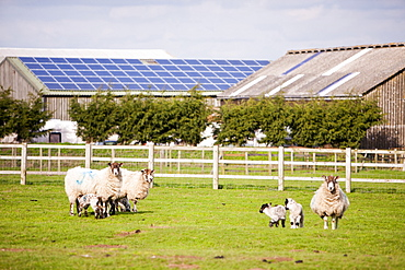 Sheep and lambs in field with a 35 Kw solar panel system on a barn roof in the background, Leicestershire, England, United Kingdom, Europe