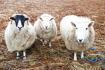 Three sheep at Portnalong, Isle of Skye, Scotland, United Kingdom, Europe